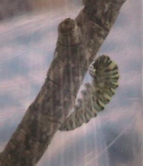 Caterpillar1_1